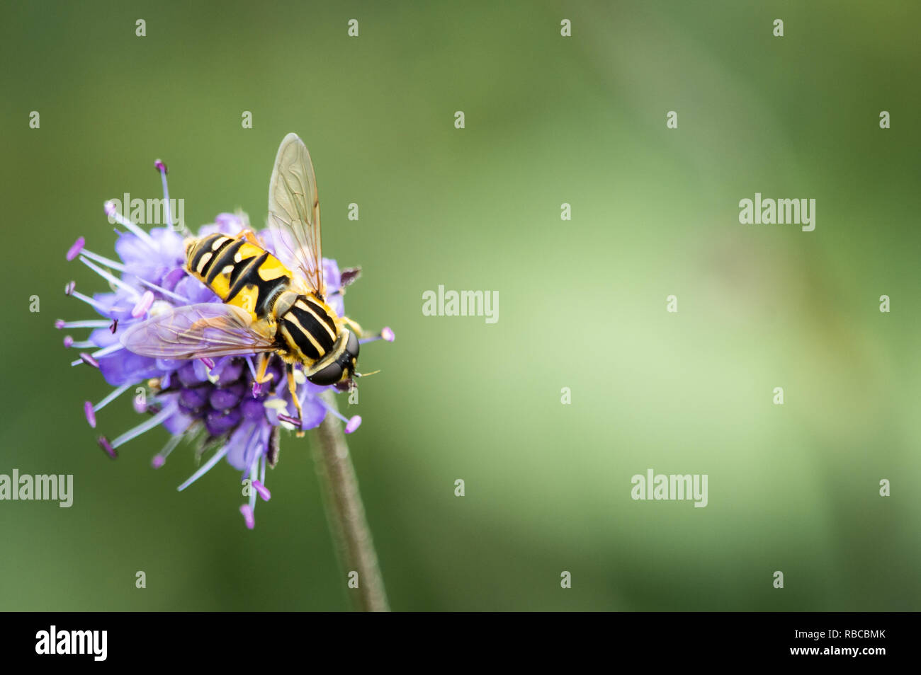 Hoverfly on Devil's-bit Scabious - Stock Image
