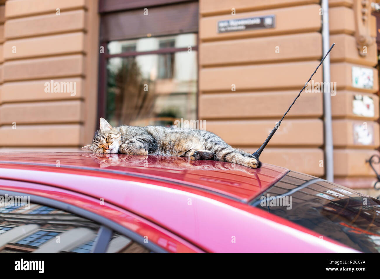 Cute tabby cat sleeping resting on top of red car roof on street in Lviv or Lvov, Ukraine old town city and nobody - Stock Image