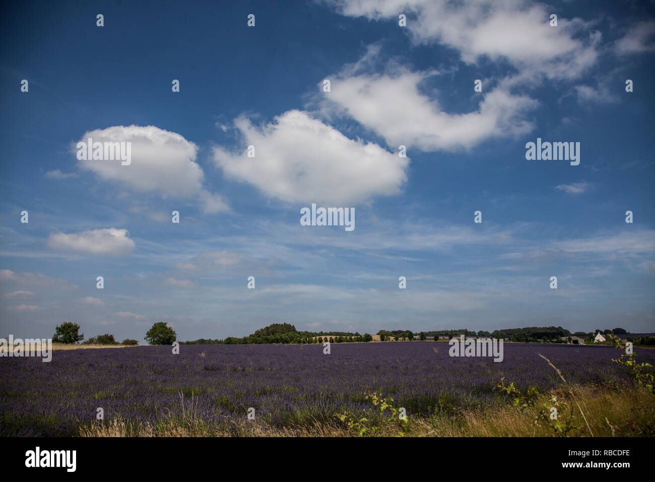 Lavender Field on a summers day with a bright blue sky and white fluffy clouds in an English summer - Stock Image