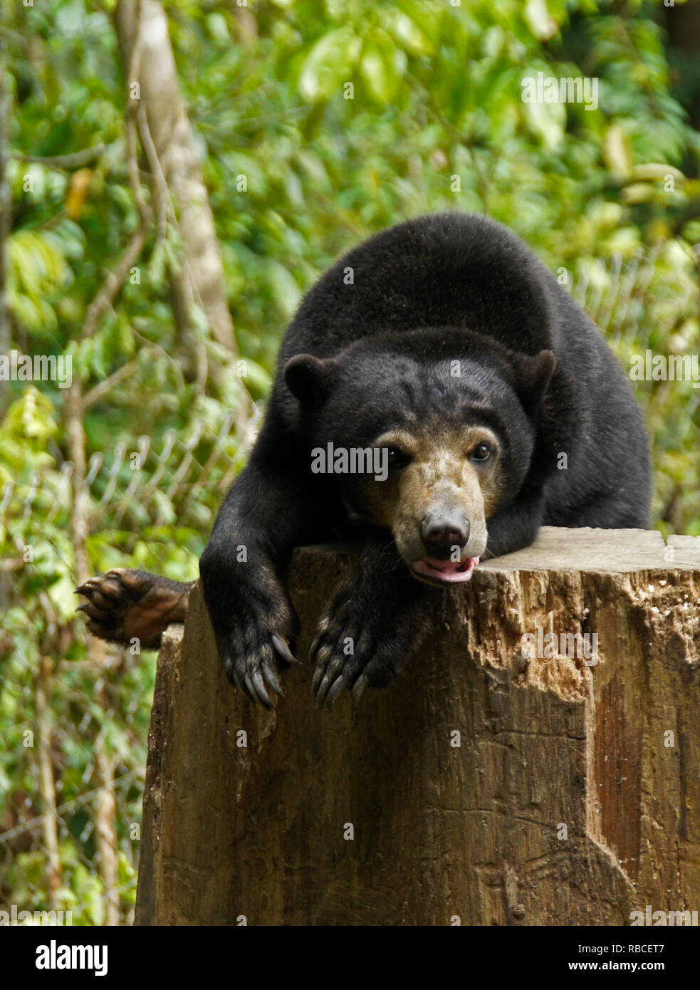 Malayan sun bear resting on tree stump at Bornean Sun Bear Conservation Centre, Sandakan, Sabah (Borneo), Malaysia - Stock Image