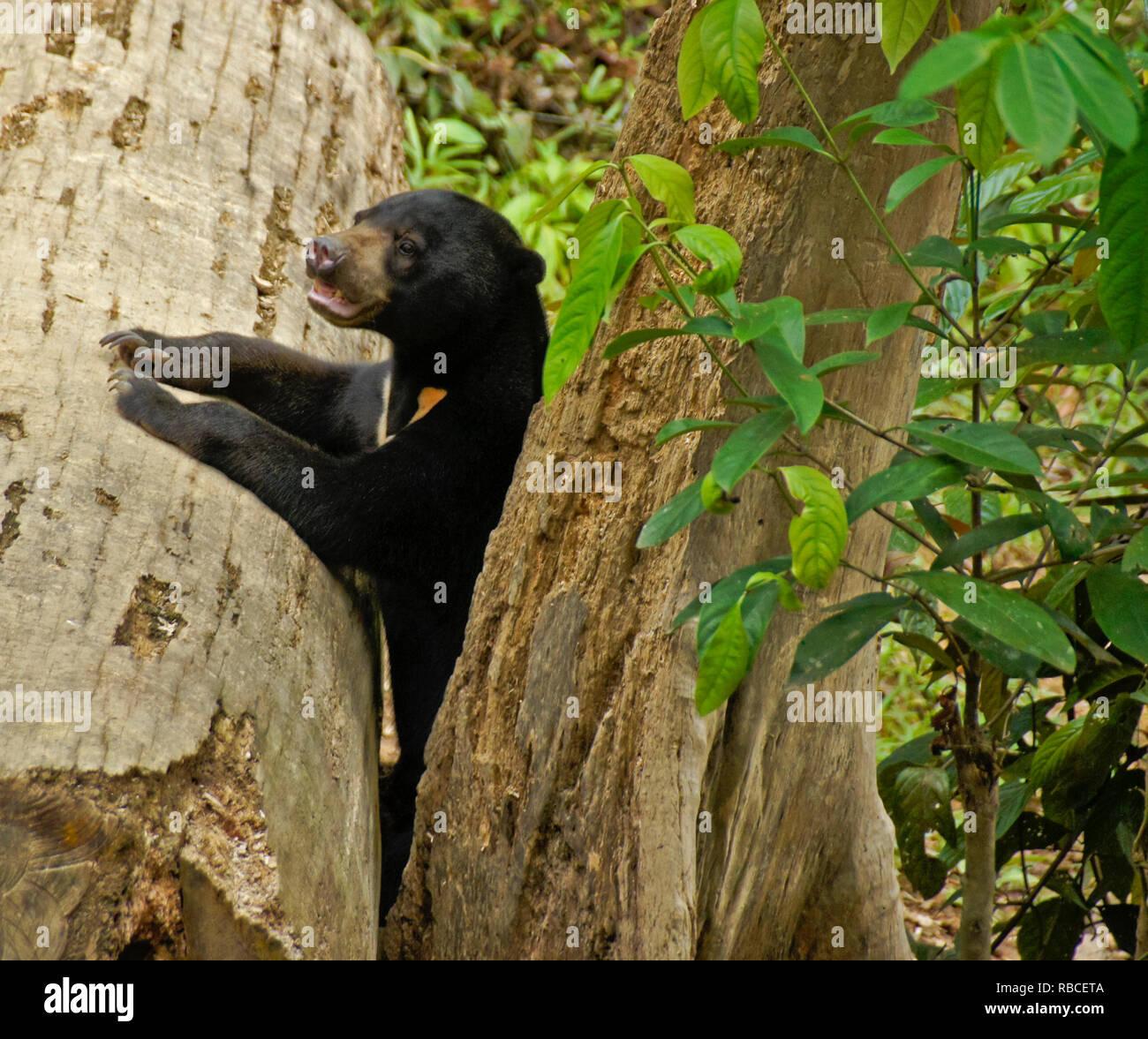 Malayan sun bear climbing on tree at Bornean Sun Bear Conservation Centre, Sandakan, Sabah (Borneo), Malaysia - Stock Image