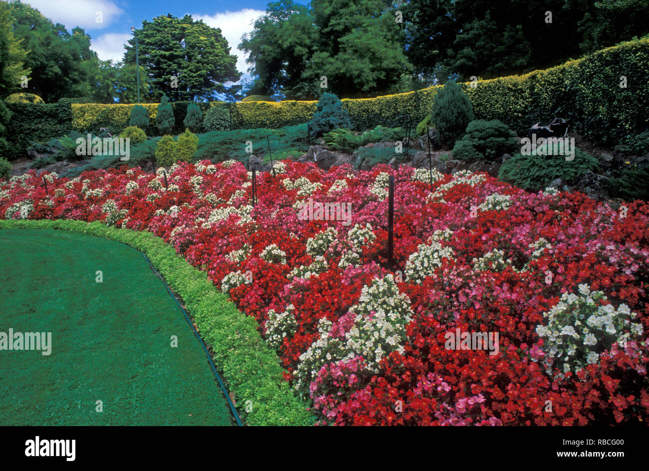 LARGE COLORFUL GARDEN BANK OF BEGONIA SEMPERVIRENS (BEDDING BEGONIAS) WITH CONIFERS, JUNIPERUS AND HEDGE OF EUONYMUS JAPONICUS. - Stock Image