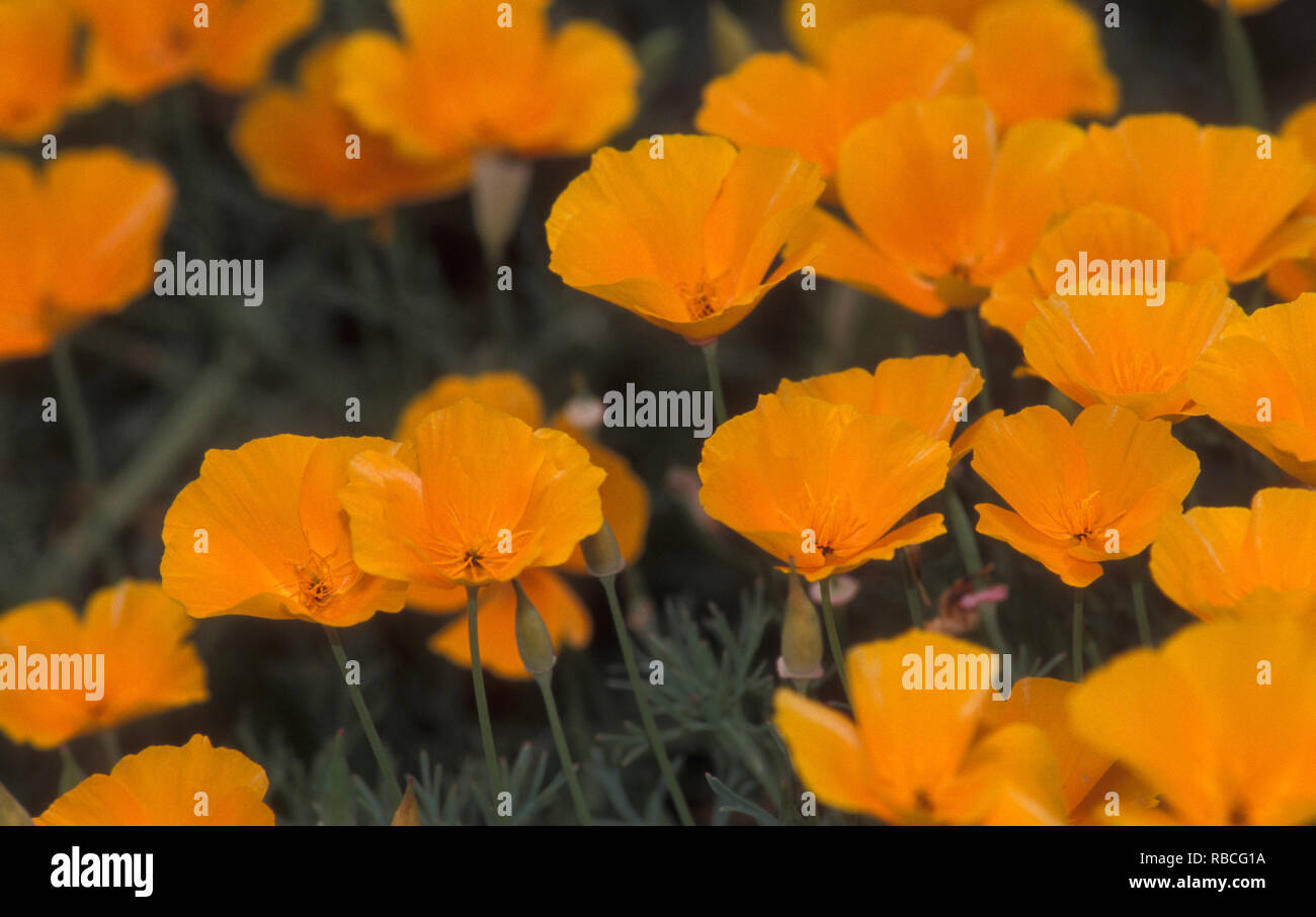 CALIFORNIAN POPPIES (ESCHSCHOLZIA CALIFORNICA) OFFICIAL FLORAL EMBLEM OF CALIFORNIA - Stock Image