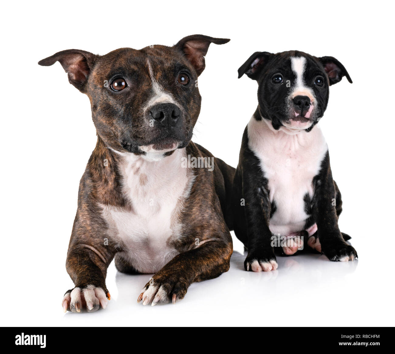 staffordshire bull terriers in front of white background - Stock Image