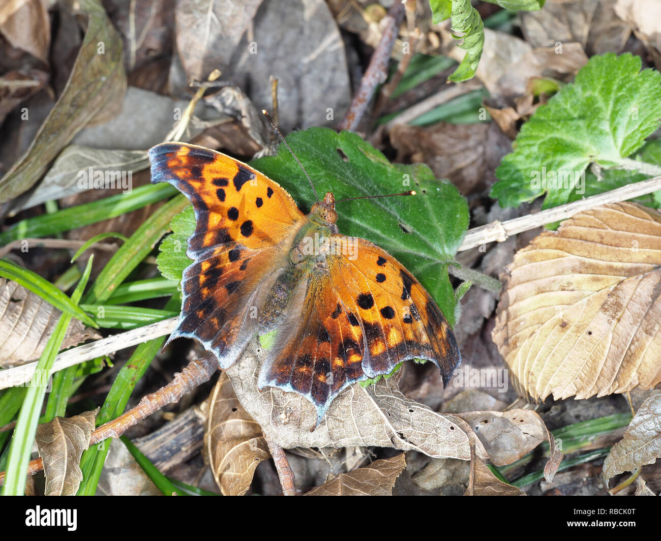 Polygonia interrogationis, the question mark butterfly, in November in Texas, USA - Stock Image
