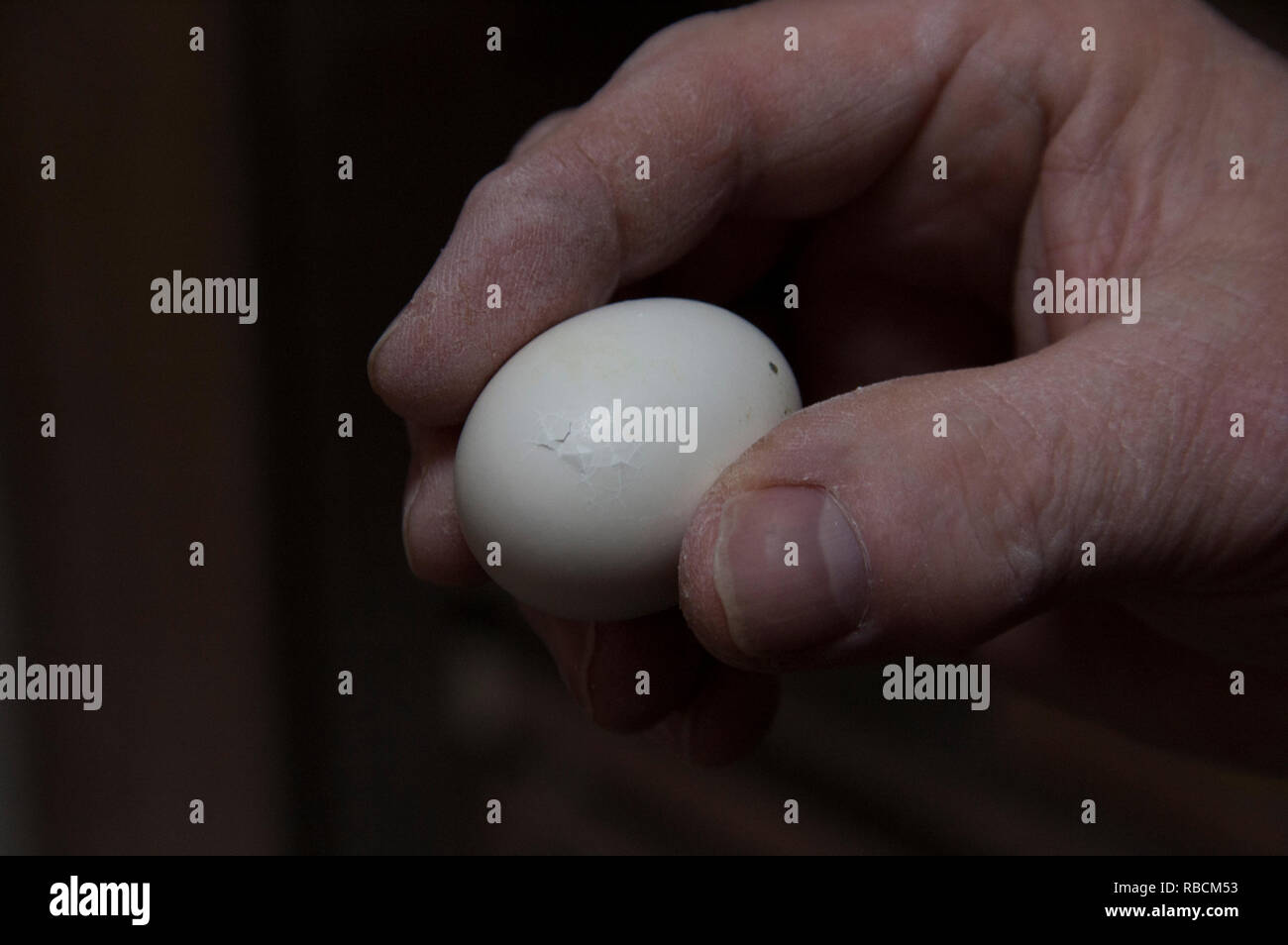 A pigeon breeder holding an almost hatched egg - Stock Image