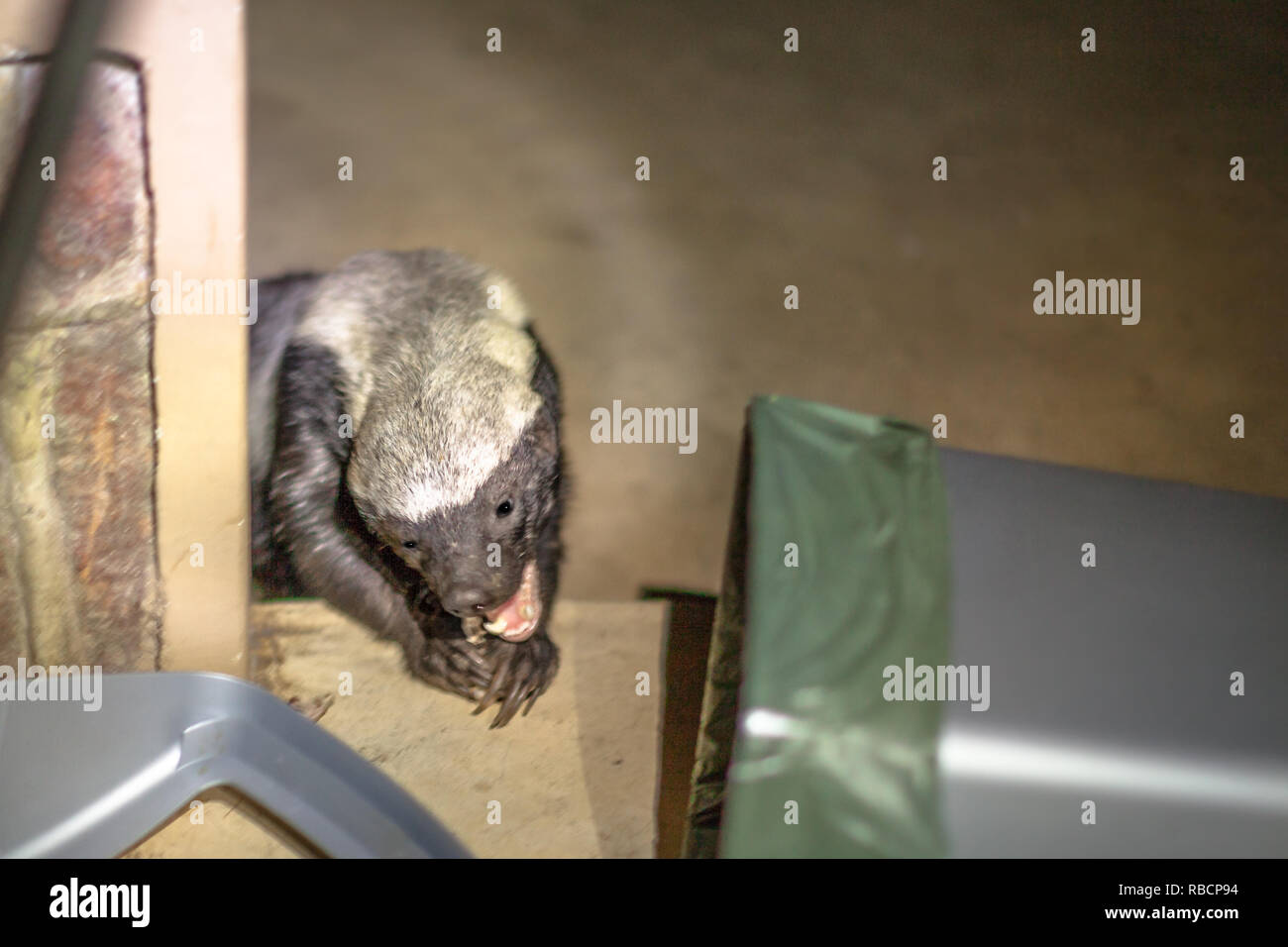 Honey badger eating food from a dustbin of a park in South Africa. Omnivorous predator, rare to see in nature. It is fearless and therefore aggressive and dangerous. Mellivora Capensis species. - Stock Image