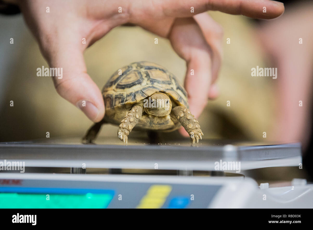 Duisburg, Germany. 09th Jan, 2019. A small panther turtle sits on a scale during an inventory at Duisburg Zoo. Credit: Rolf Vennenbernd/dpa/Alamy Live News - Stock Image