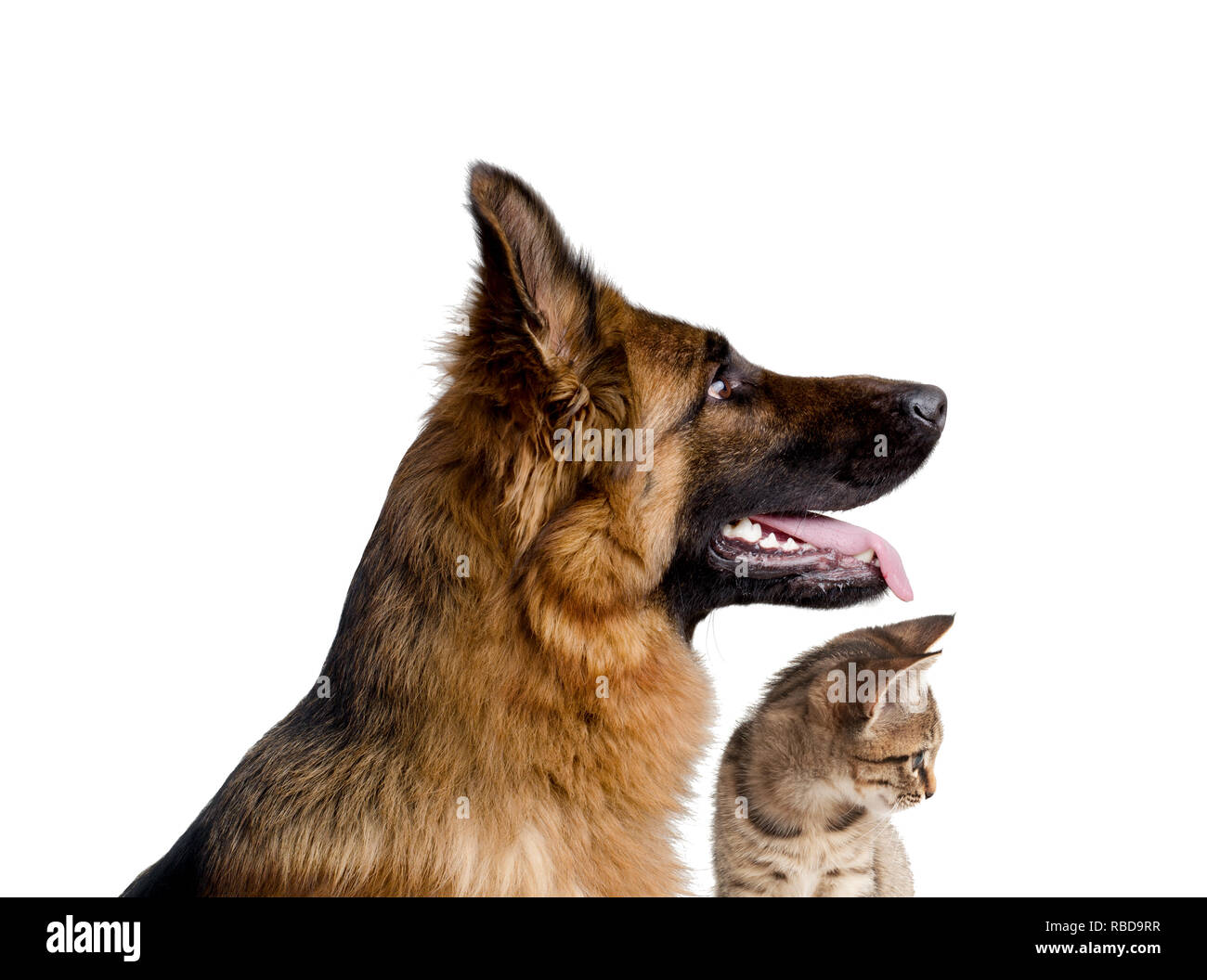 Portrait of a dog and a cat close up isolated on white background. German shepherd and little kitten. - Stock Image