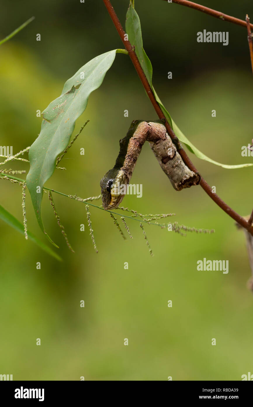 Snake Moth Stock Photos Snake Moth Stock Images Alamy