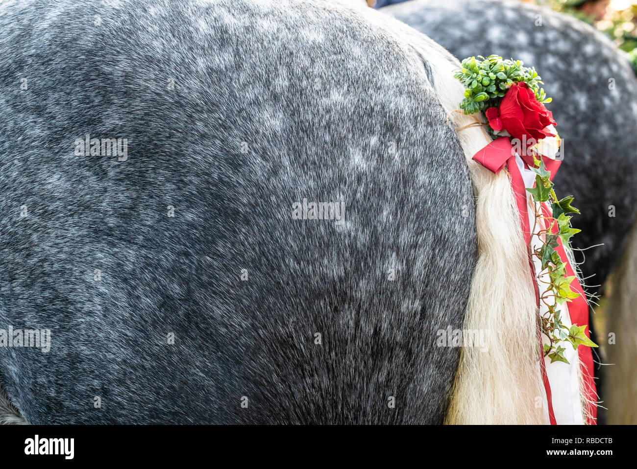 Decorated horses ready to perform at leonhardi parade - Stock Image