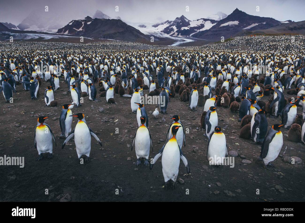 INCREDIBLE images have captured a 'sea' of penguins with hundreds of the birds as far as the eye can see. The stunning shots show the penguins gathering on the beach with their young as the mountains rise high into the sky behind them. Other striking pictures show the sun setting as the penguins waddle across the beach and the proud animals sticking their beaks into the air. The remarkable scene was captured in South Georgia in the Sub Antarctic Islands of Antarctica by polar photographer David Merron (42), from Toronto, Canada. Mediadrumimages / David Merron Stock Photo