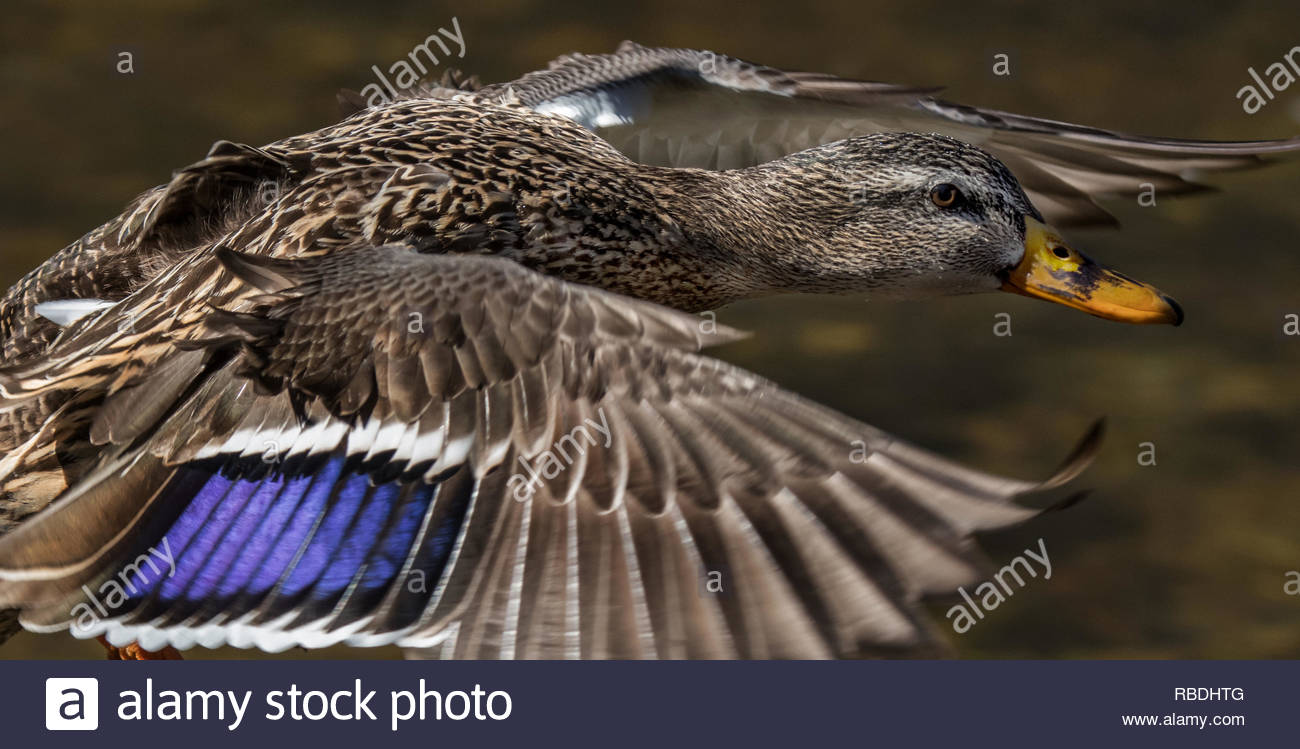 close up of Mallard duck flying with wings outstretched and head thrust foreward Beavermead Park Peterborough Ontario Canada - Stock Image