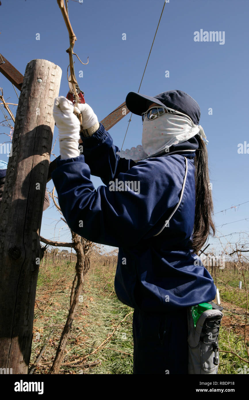 Vietnamese women working as farm labourers on an Australian  table grape vineyard are covered from head to toe - Stock Image
