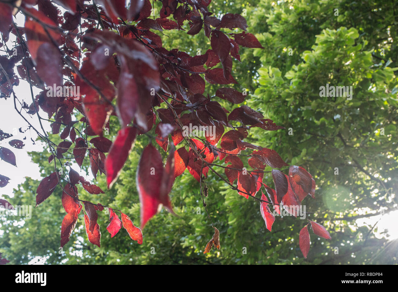 Tree With Red Leaves In The Garden On A Sunny Day Stock Photo Alamy