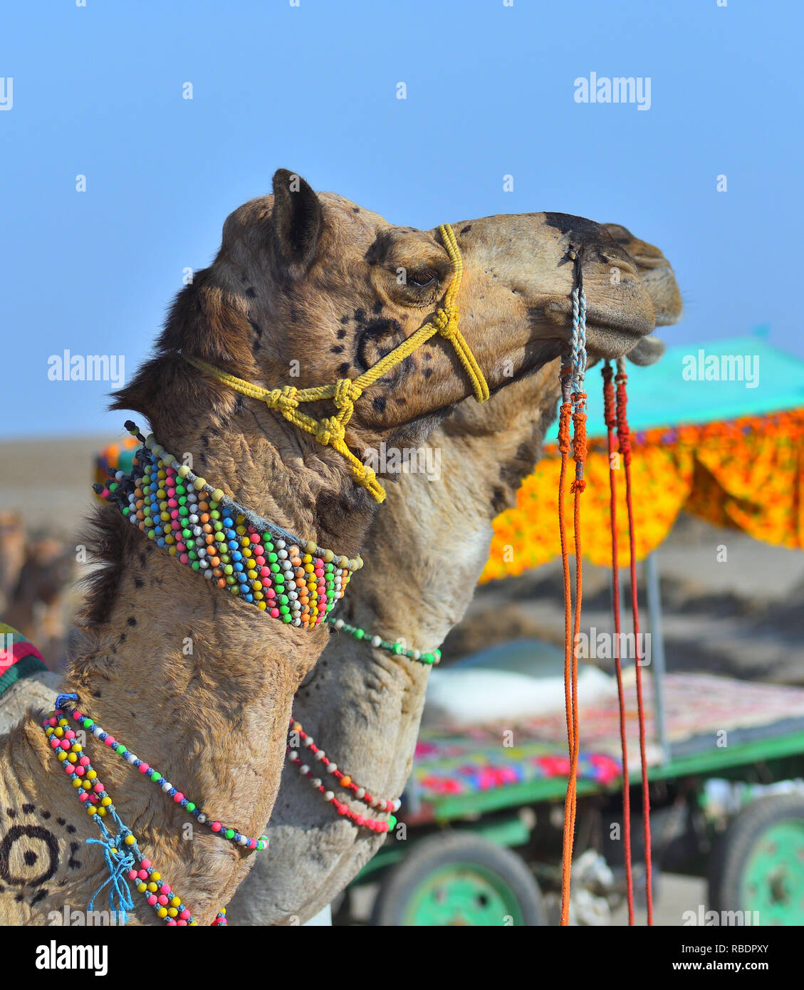 head of Decorated Camel at Greater Rann of Kutch, Gujarat, India - Stock Image