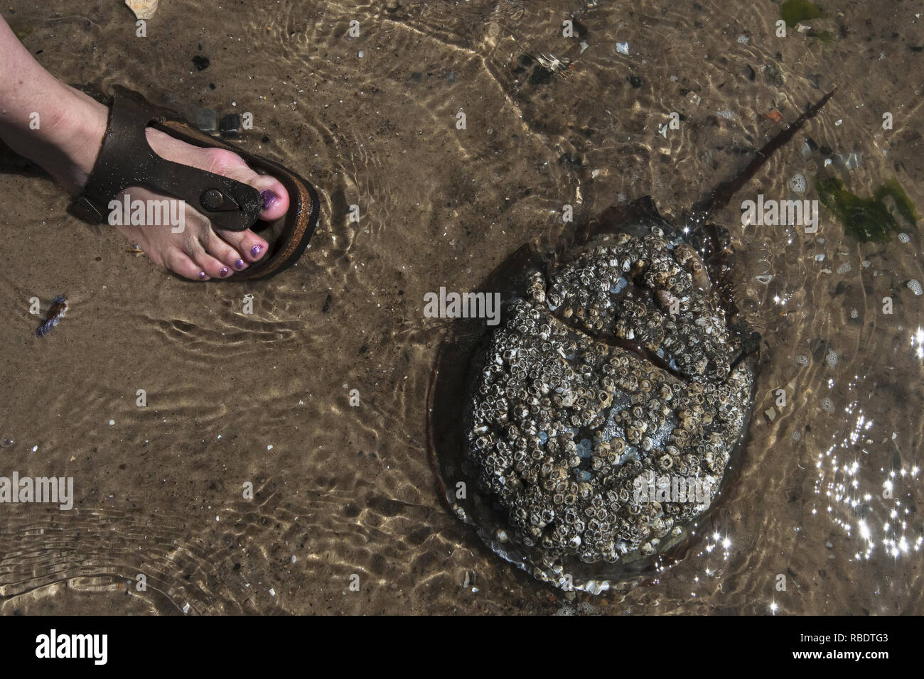 Child's foot and Atlantic horseshoe crab in shallow water in late may - Stock Image