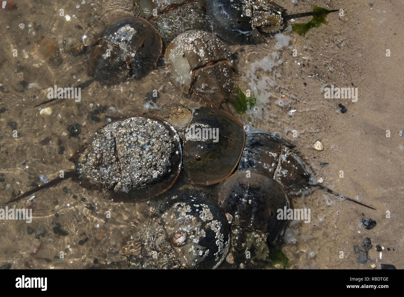 Mating Atlantic horseshoe crabs at high tide in late May - Stock Image