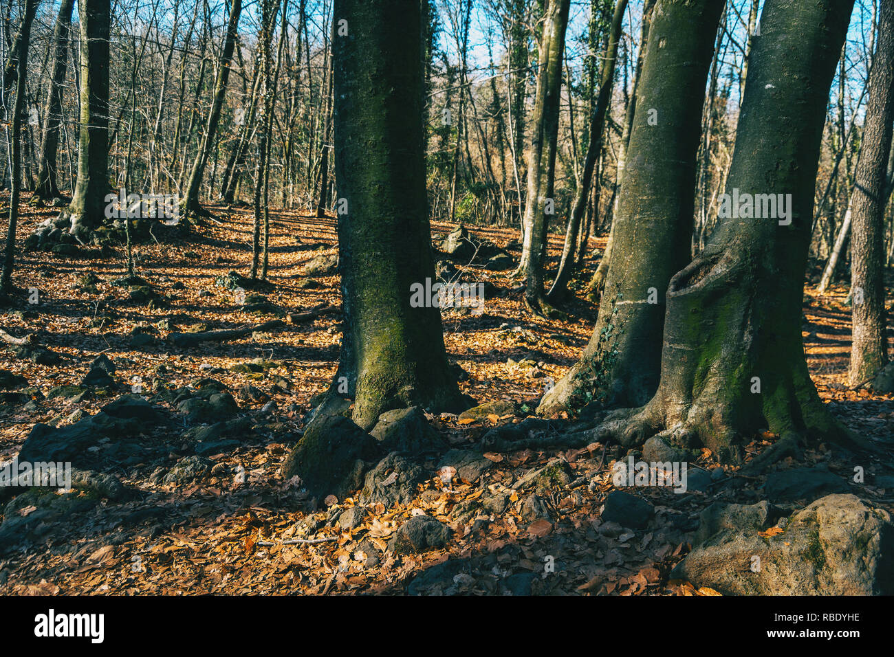 Three trees in an autumnal forest surrounded by a grove of bare trees - Stock Image