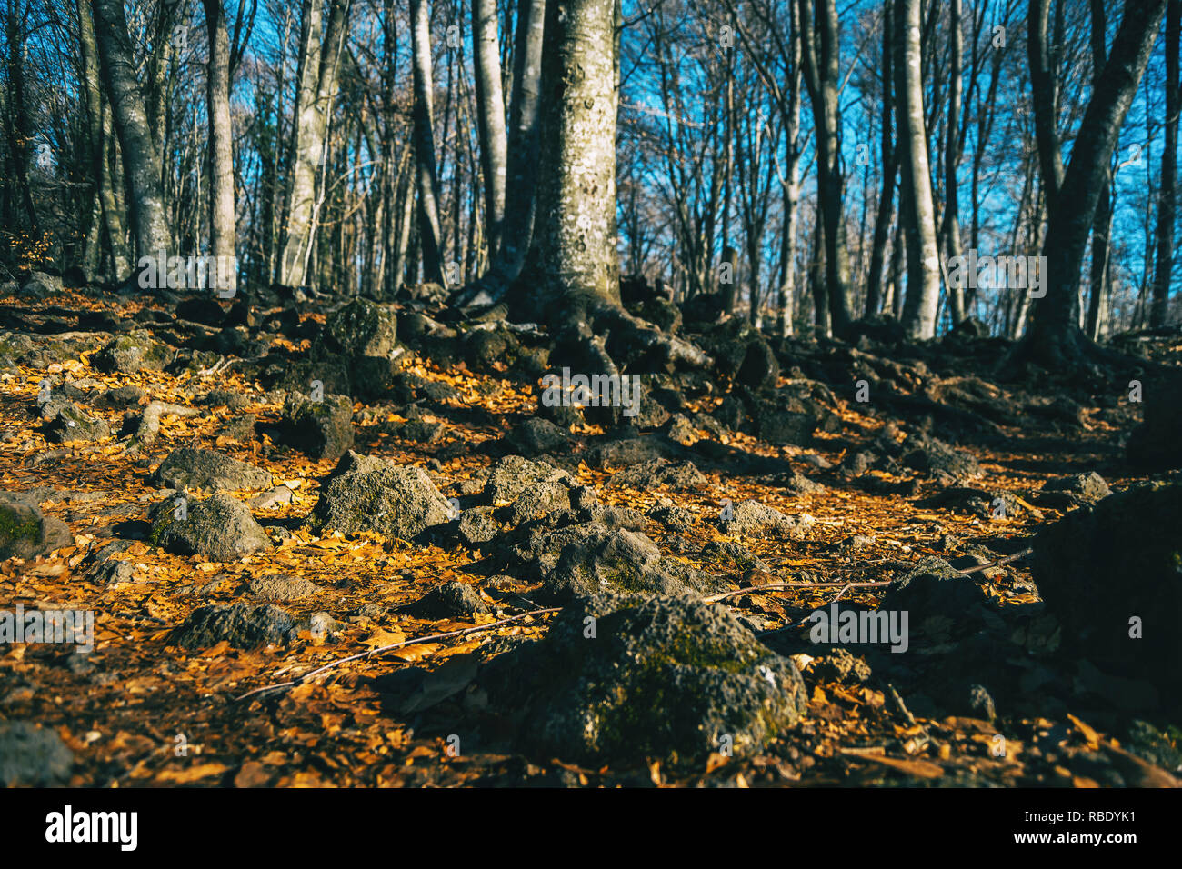 The ground of an autumnal forest full of leaves and rocks - Stock Image