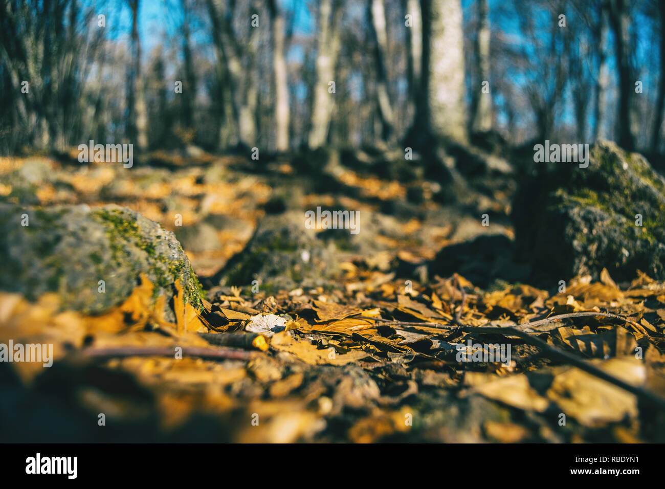 Autumn leaves on the ground of a forest taken at ground level - Stock Image