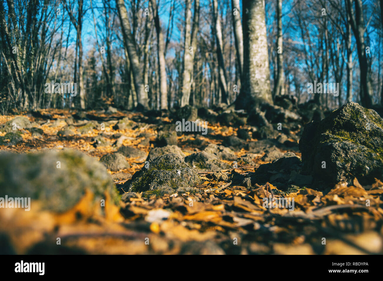 Autumnal forest taken at ground level with two mossy rocks focused - Stock Image