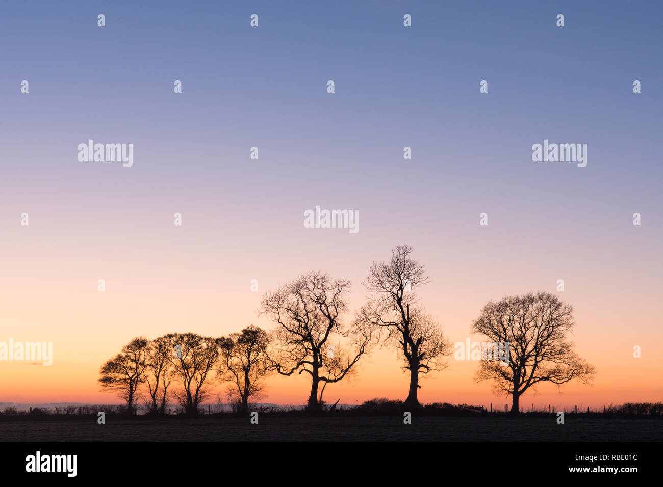row of bare trees in winter on brow of hill at sunset, Sussex, Winter, South Downs National Park, December. - Stock Image