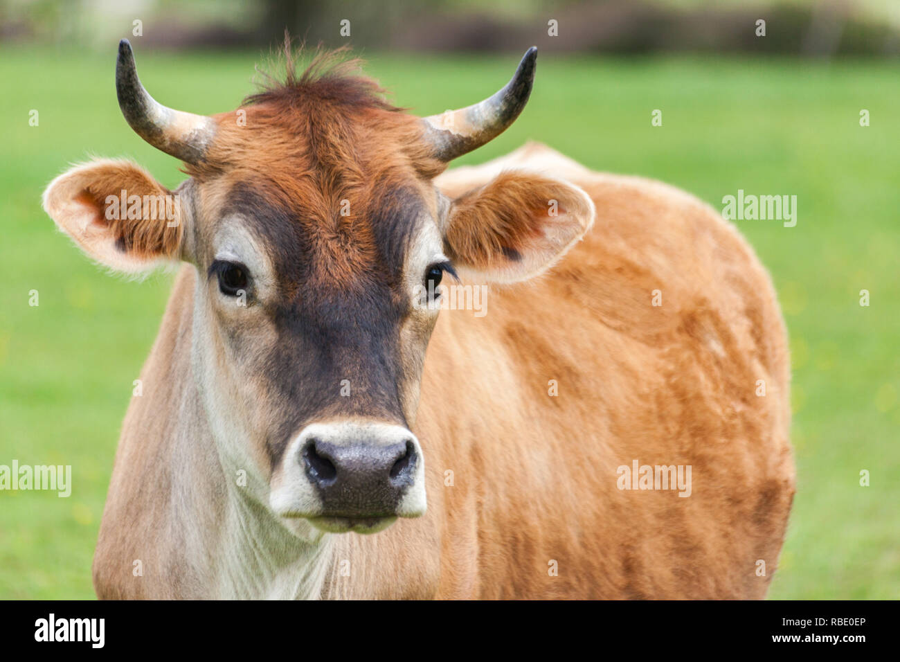 Healthy young Brown Swiss bull in a pasture - Stock Image