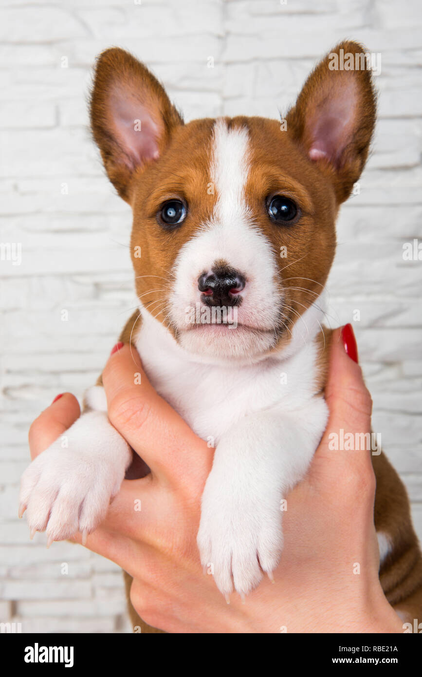 Funny Basenji puppy dog on the hands of the owner - Stock Image