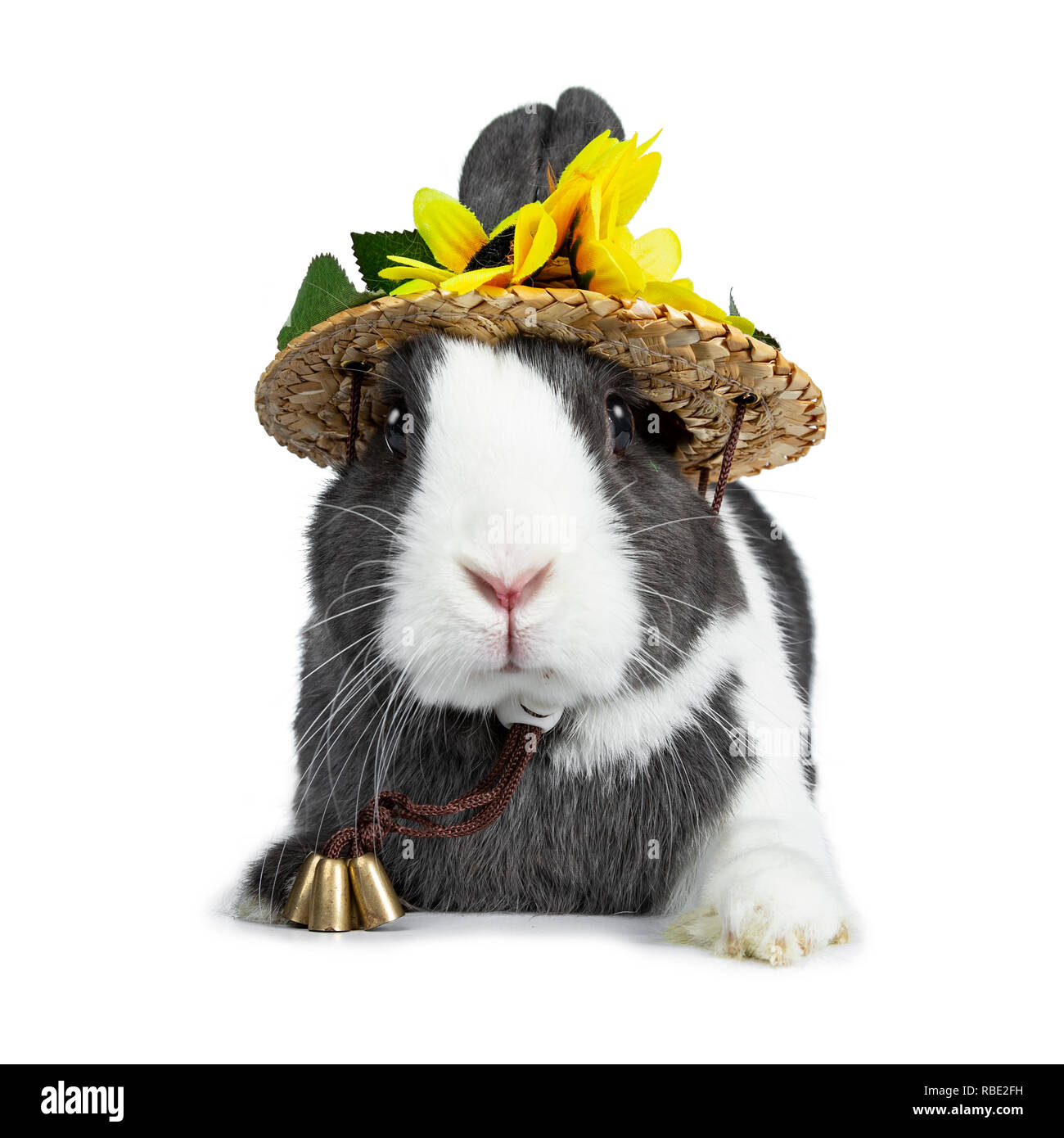 Cute grey with white European rabbit, Stting wearing a straw hat with sun flowers. Looking at camera facing front. Isolated on white background. - Stock Image