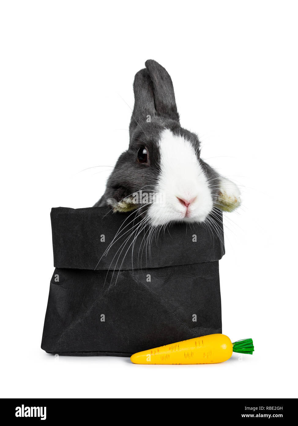 Cute grey with white European rabbit, Stting side ways in a black paper back with a fake carrot. Paws over edge. Looking at camera facing front. Isola - Stock Image
