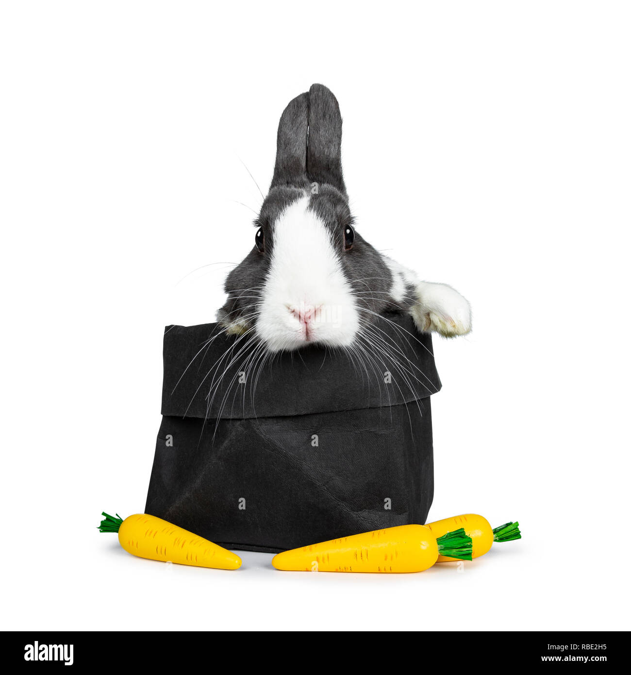 Cute grey with white European rabbit, Stting in a black paper back with three fake carrots. Paws over edge. Looking at camera facing front. Isolated o - Stock Image