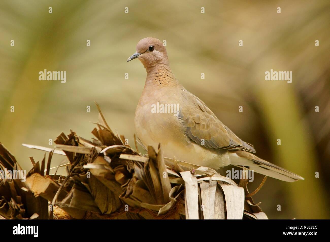 Laughing Dove / Streptopelia senegalensis Stock Photo