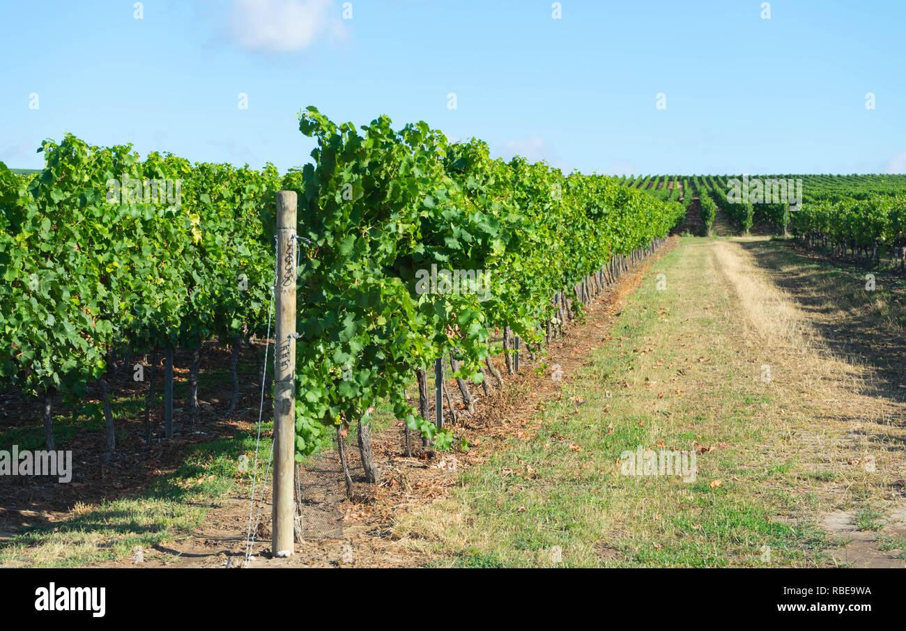 View of vineyards in August, Rheinhessen wine-growing region, Germany - Stock Image