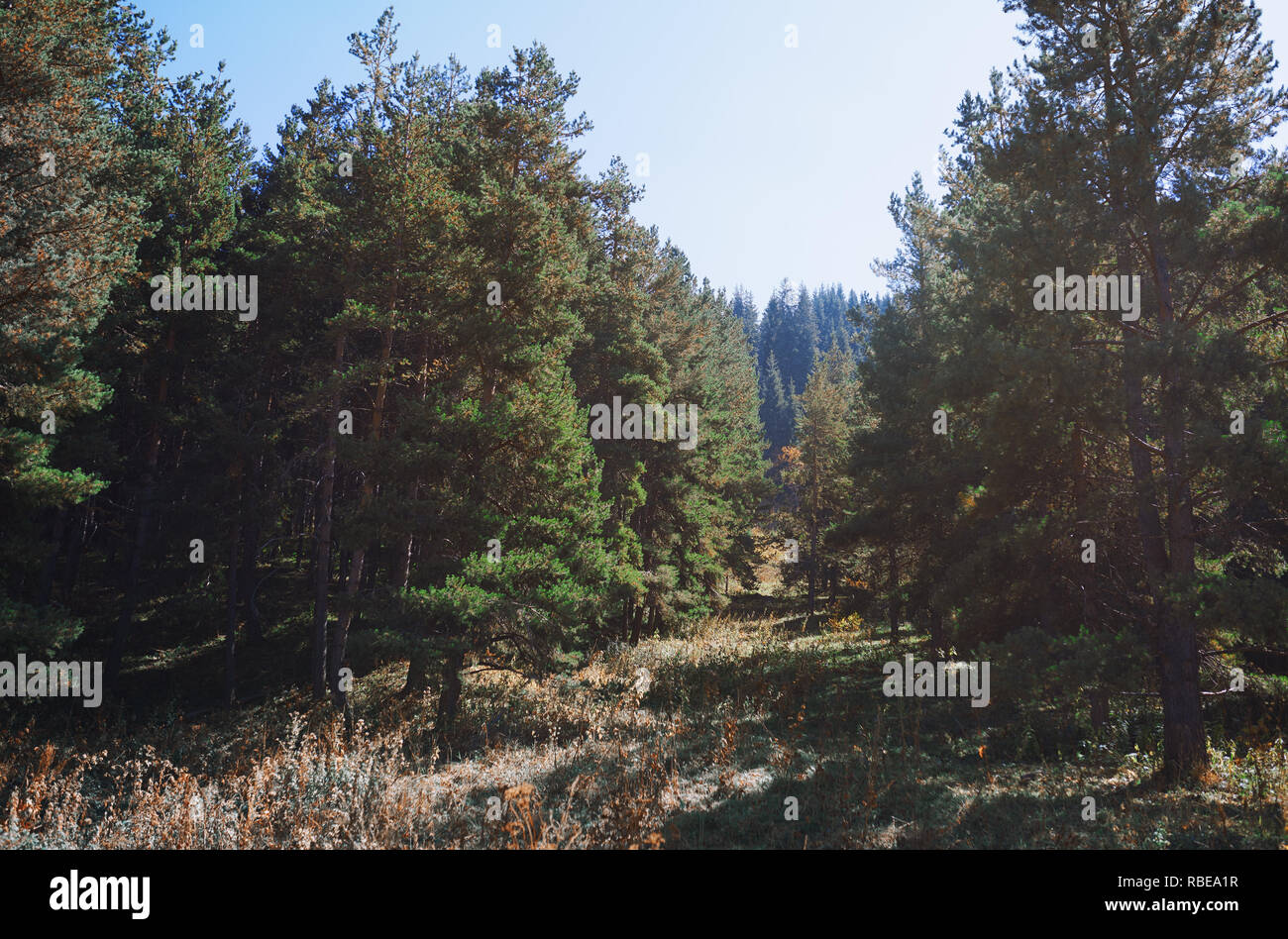 Pine trees in mountain forest - Stock Image