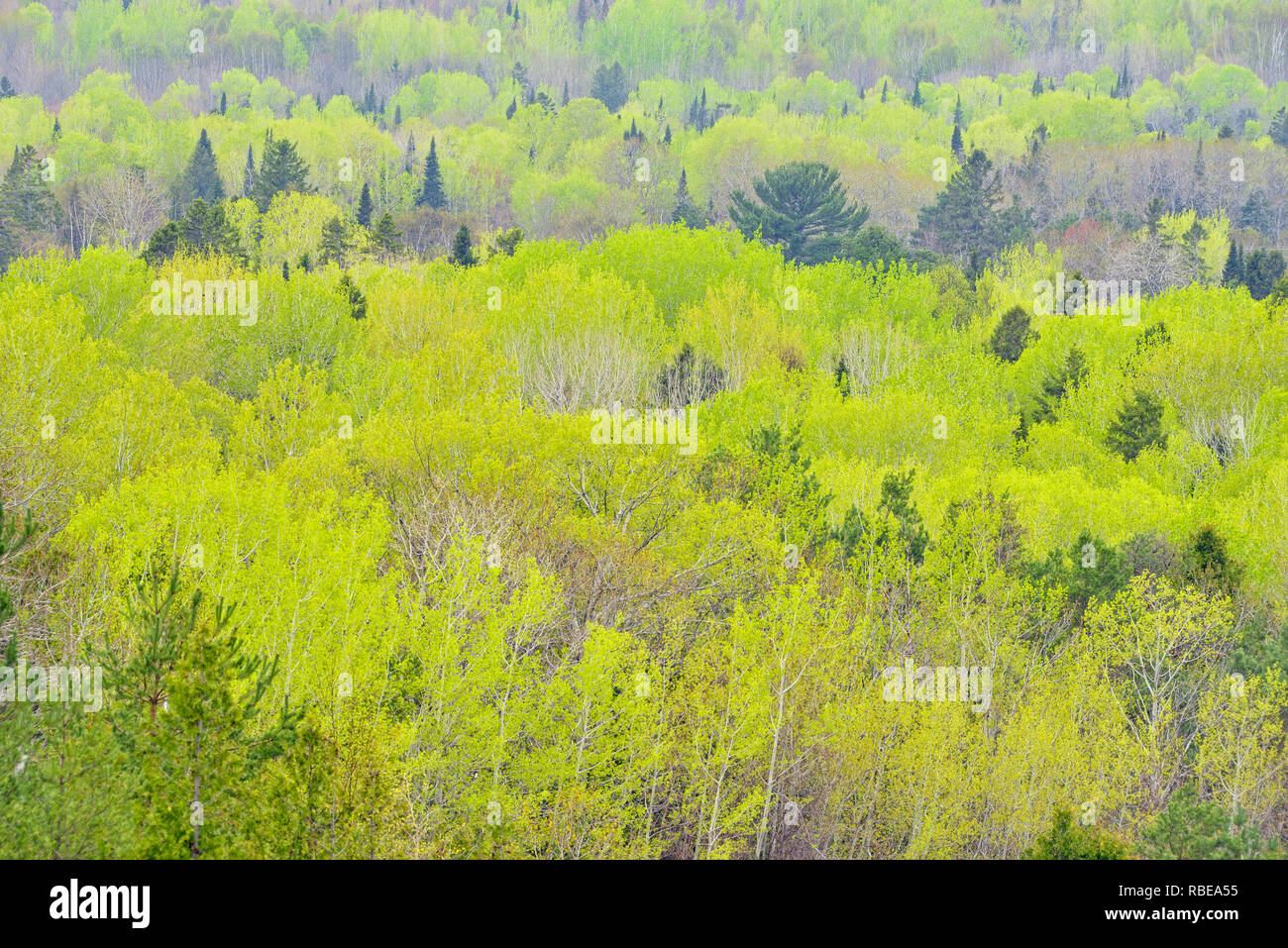 Spring foliage in aspen trees with spruce and pine, M'chigeeng First Nation, Manitoulin Island, Ontario, Canada - Stock Image