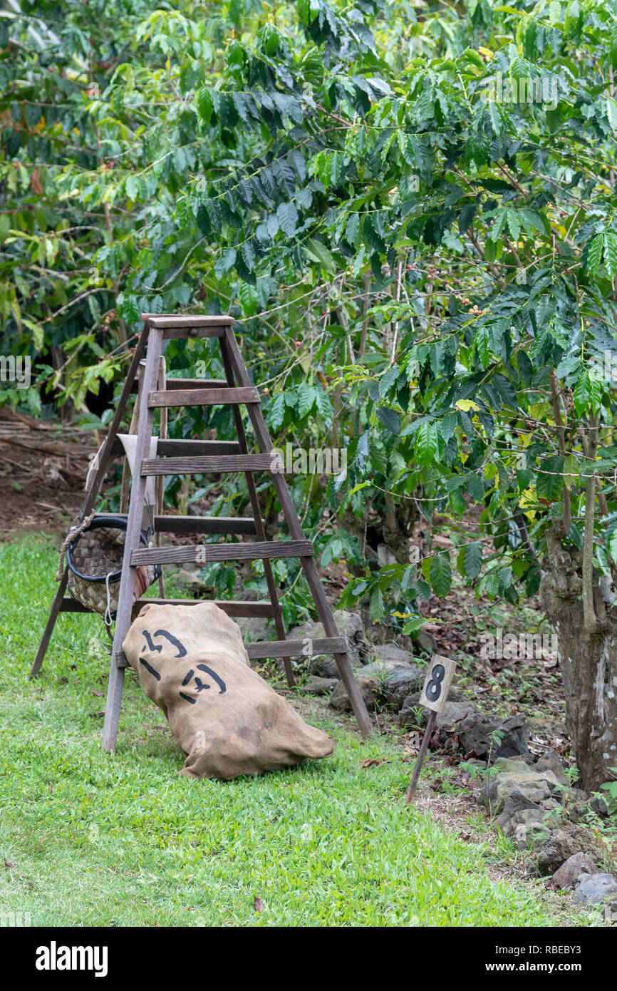 Captain Cook, Hawaii - A ladder next to a coffee tree on the Kona Coffee Living History Farm. Japanese immigrant Daisaku Uchida and his family operate - Stock Image