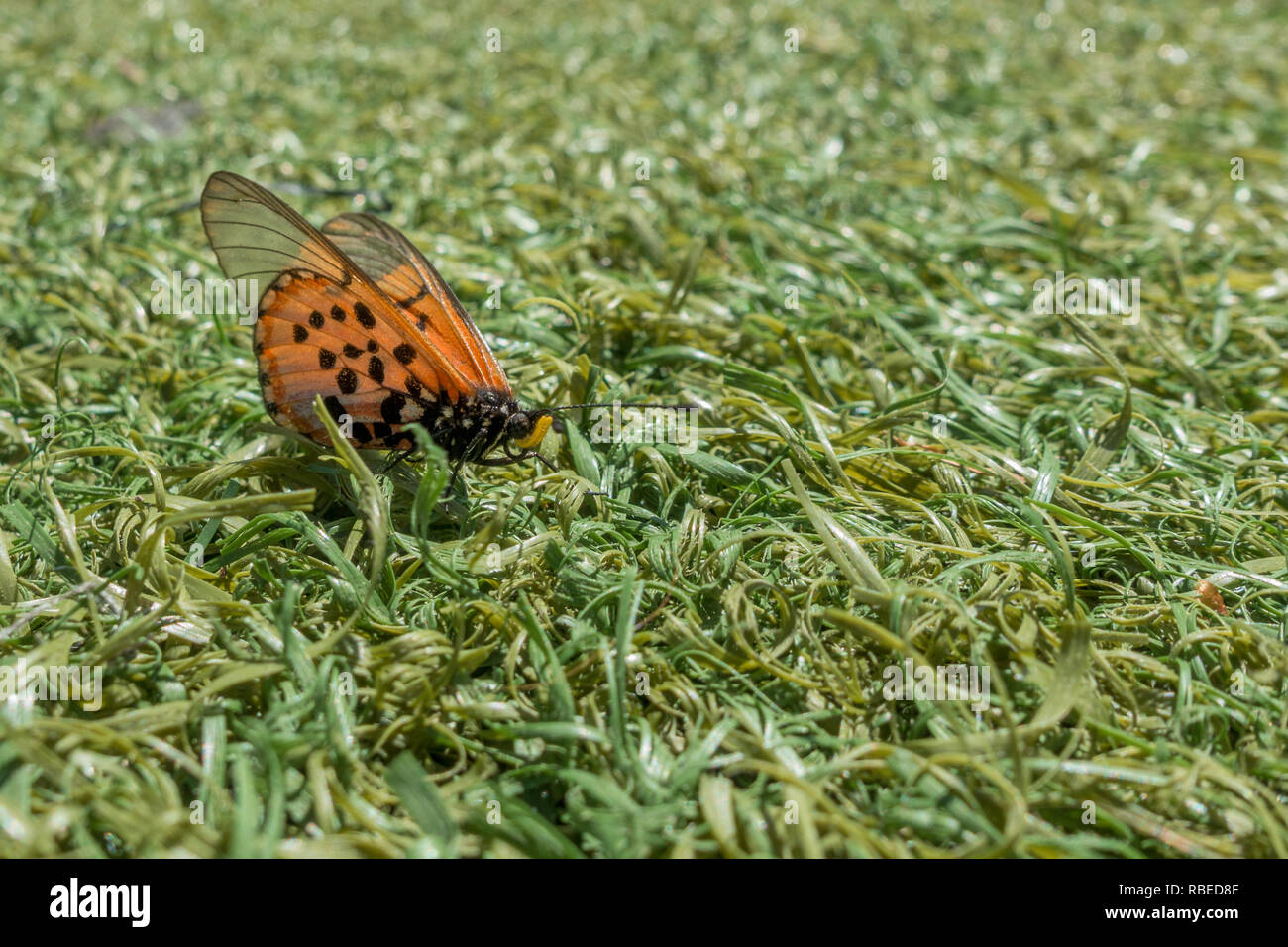 Close up of a Garden Acraea Butterfly, Acraea horta, Nymphalidae on the ground in grass. Cape Peninsula, South Africa - Stock Image