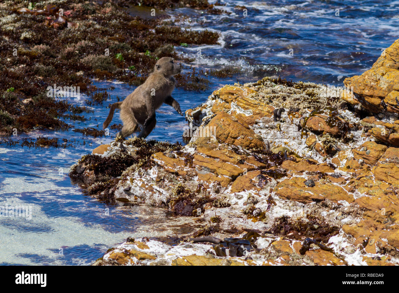 Series of shots showing a Cape Baboon jumping across a stretch of sea on the beach, Cape Peninsula, South Africa - Stock Image