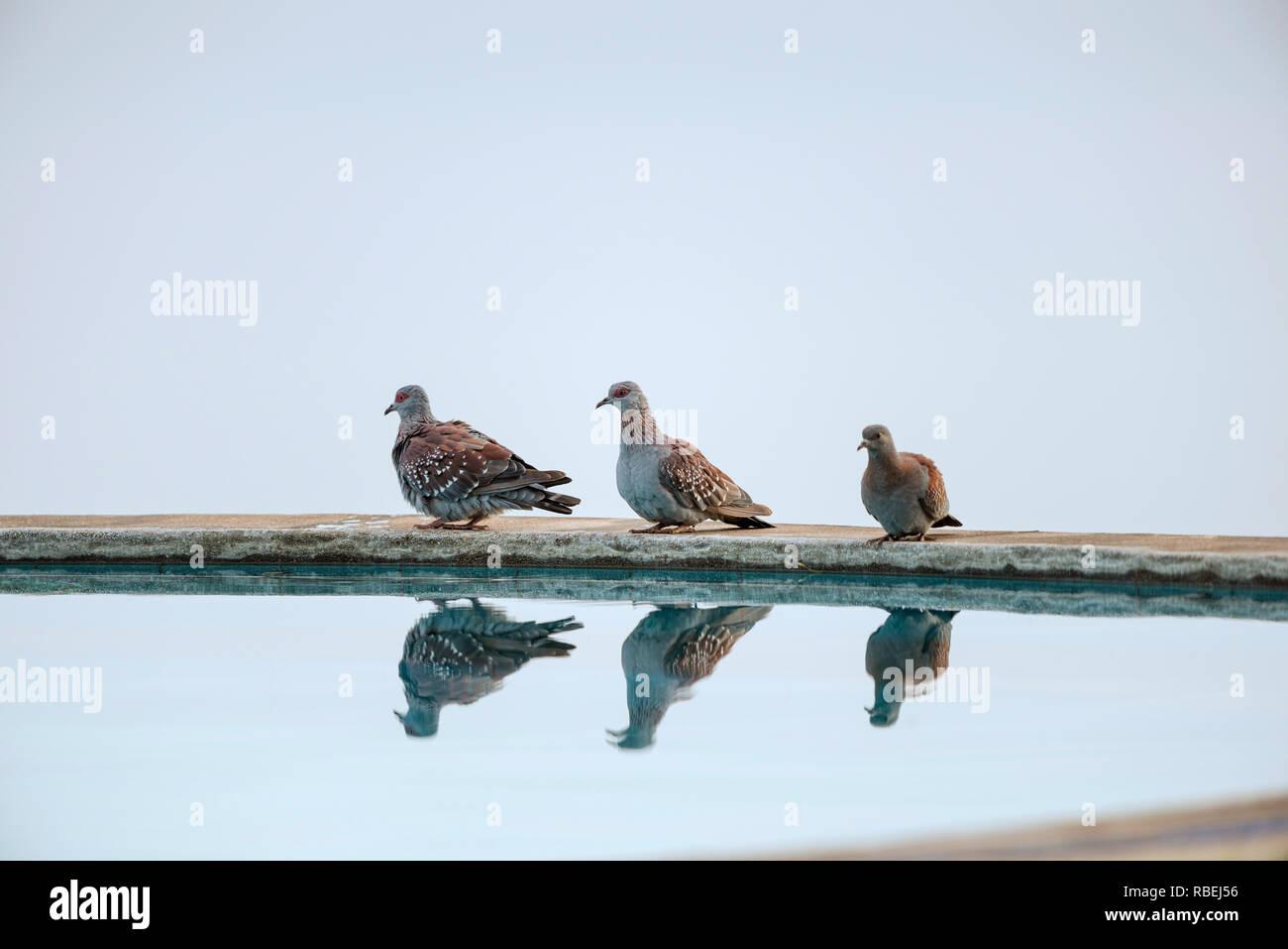The speckled pigeon, Columba guinea, Nakuru, Kenya, Africa Stock Photo