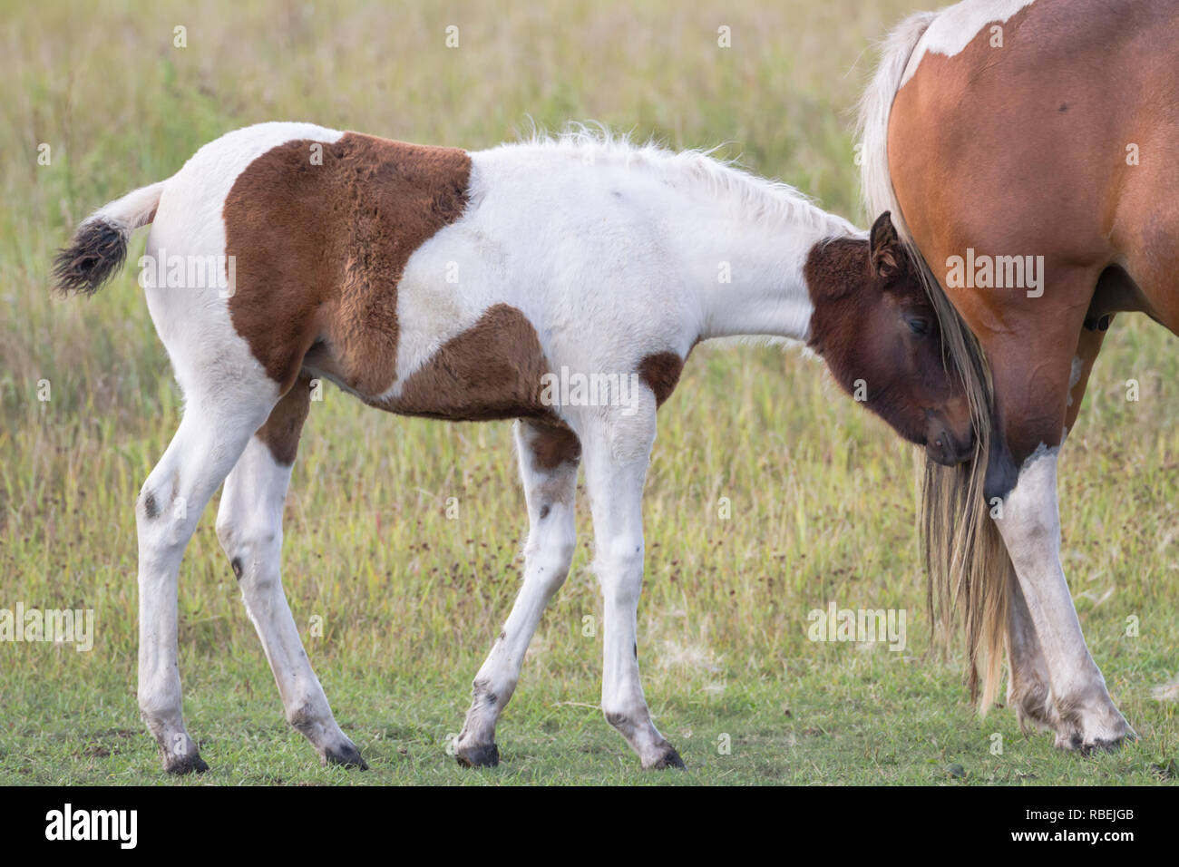 Brown and white foal sticks close to mother, with its head in her tail, while following her in pasture in Ranching Country, southern Alberta, Canada. Stock Photo