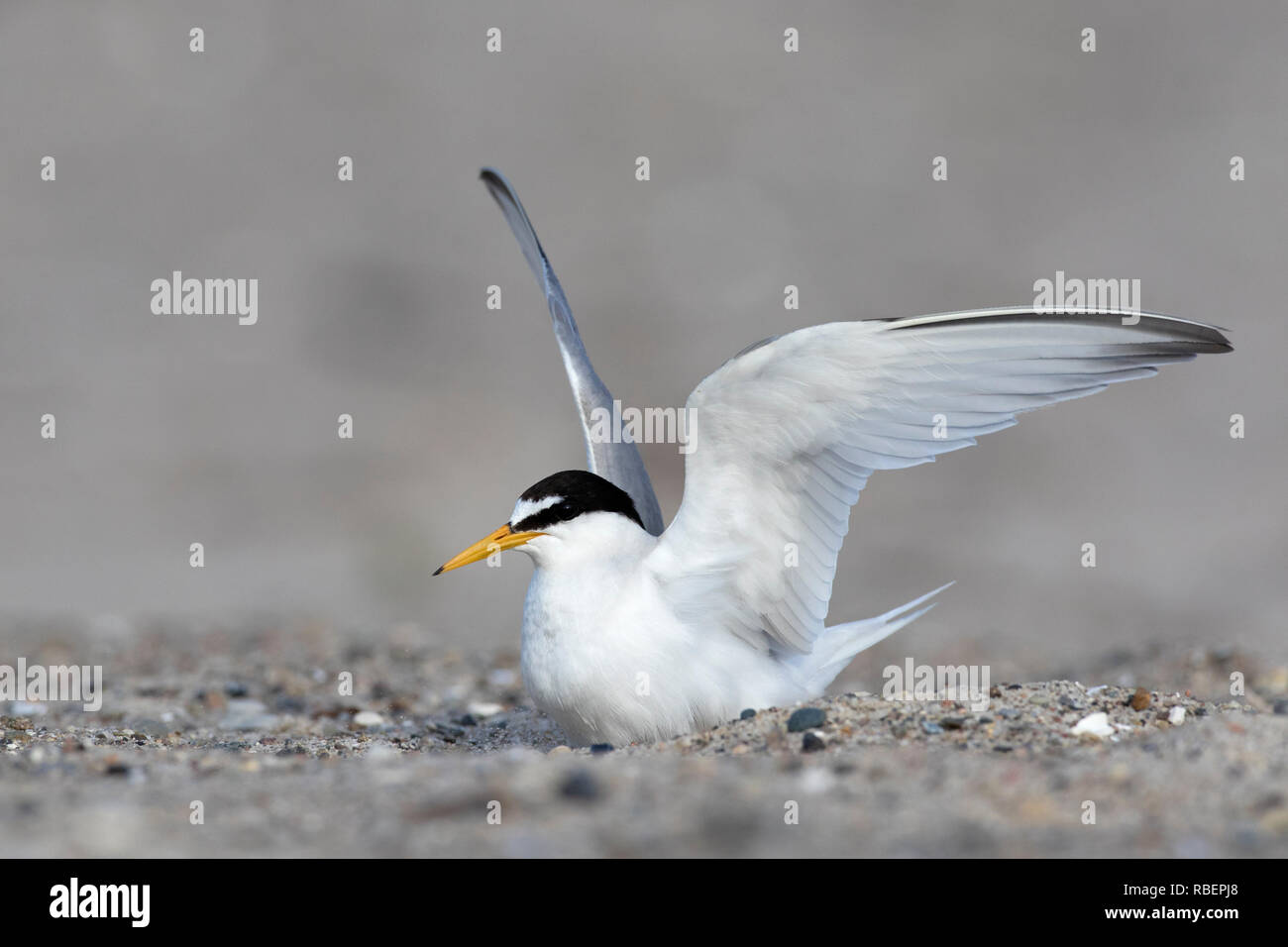 Little tern (Sternula albifrons / Sterna albifrons) spreading wings on the beach in late spring / summer - Stock Image