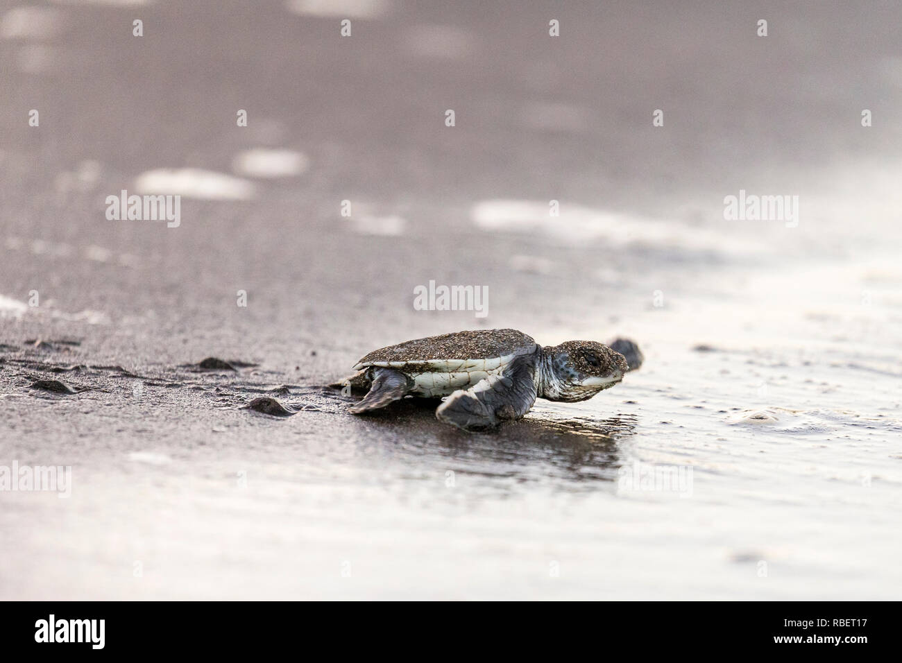 Green sea turtle hatchling making for the Caribbean sea, Tortuguero National Park, Costa Rica - Stock Image