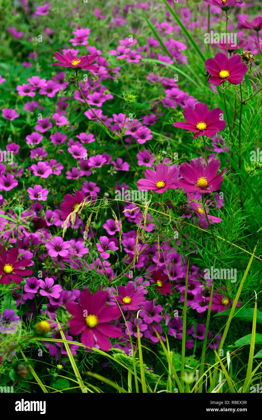 cosmos bipinnatus dazzler,Geranium Anne Thomson,magenta,pink,flower,flowers,flowering combination,annual,perennial,RM Floral - Stock Image