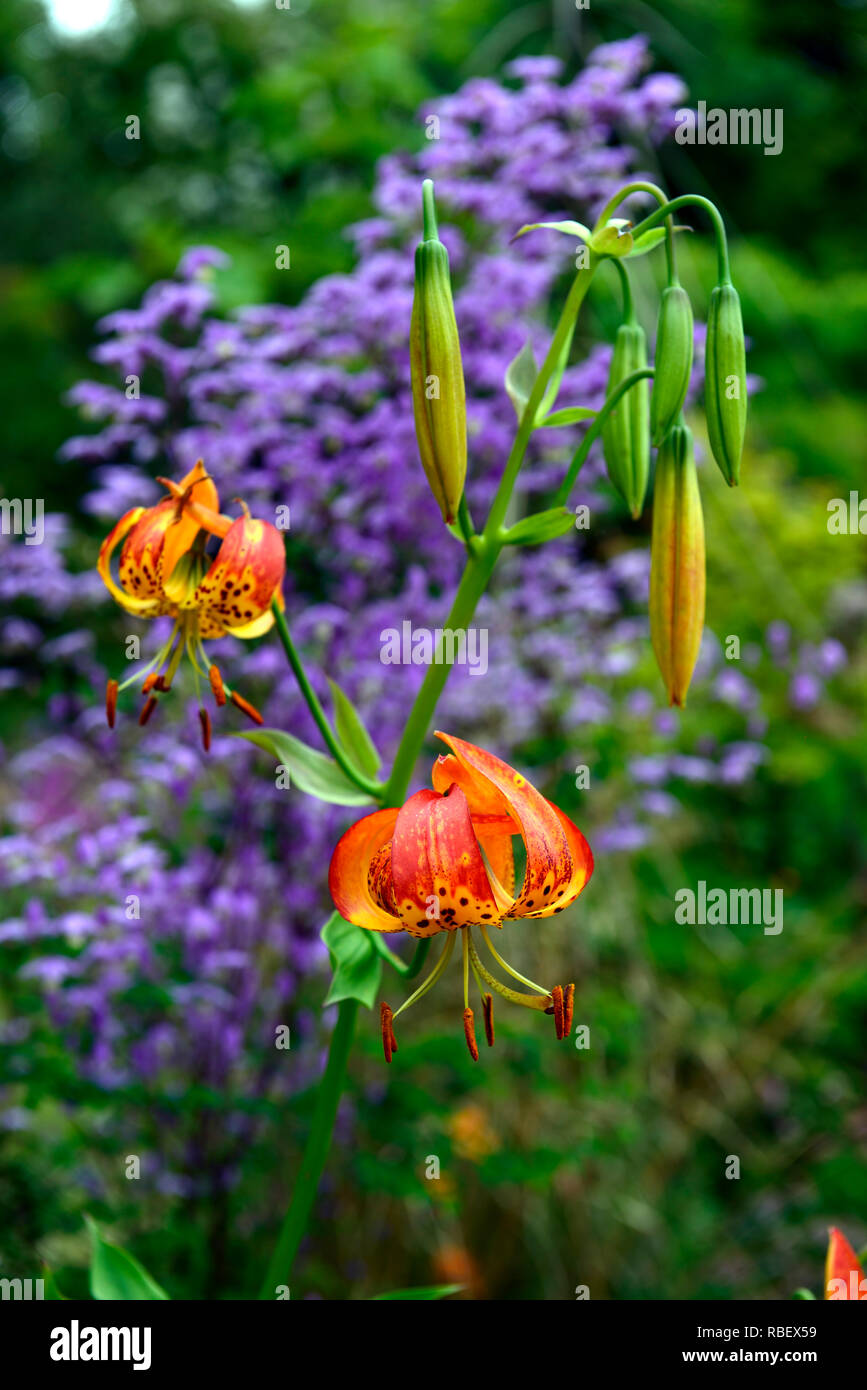 lilium pardalinum,leopard lily,panther lily,red,orange,spot,spotted,thalictrum delavayi hinckley,meadow rue,lilac flowers,contrast,contrasting combina Stock Photo