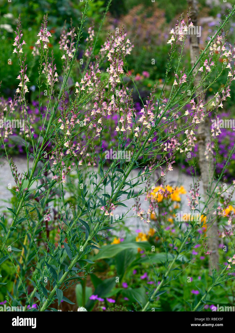 Linaria Peachy,Toadflax,peach yellow flowers,flowering stems,spires,snapdragon,RM Floral - Stock Image