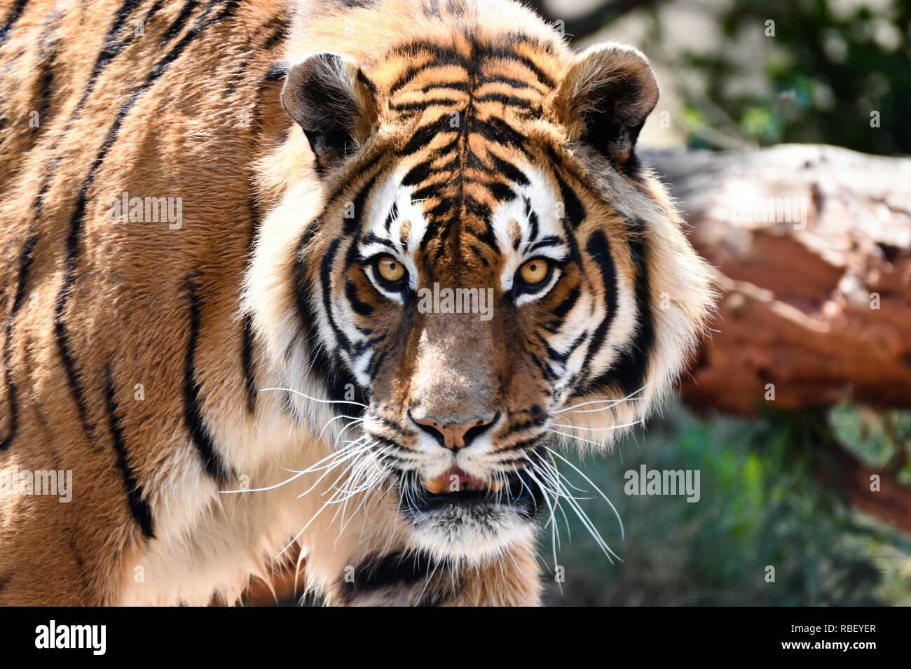 Intense Bengal Tiger Stare (panthera tigris tigris) - Stock Image