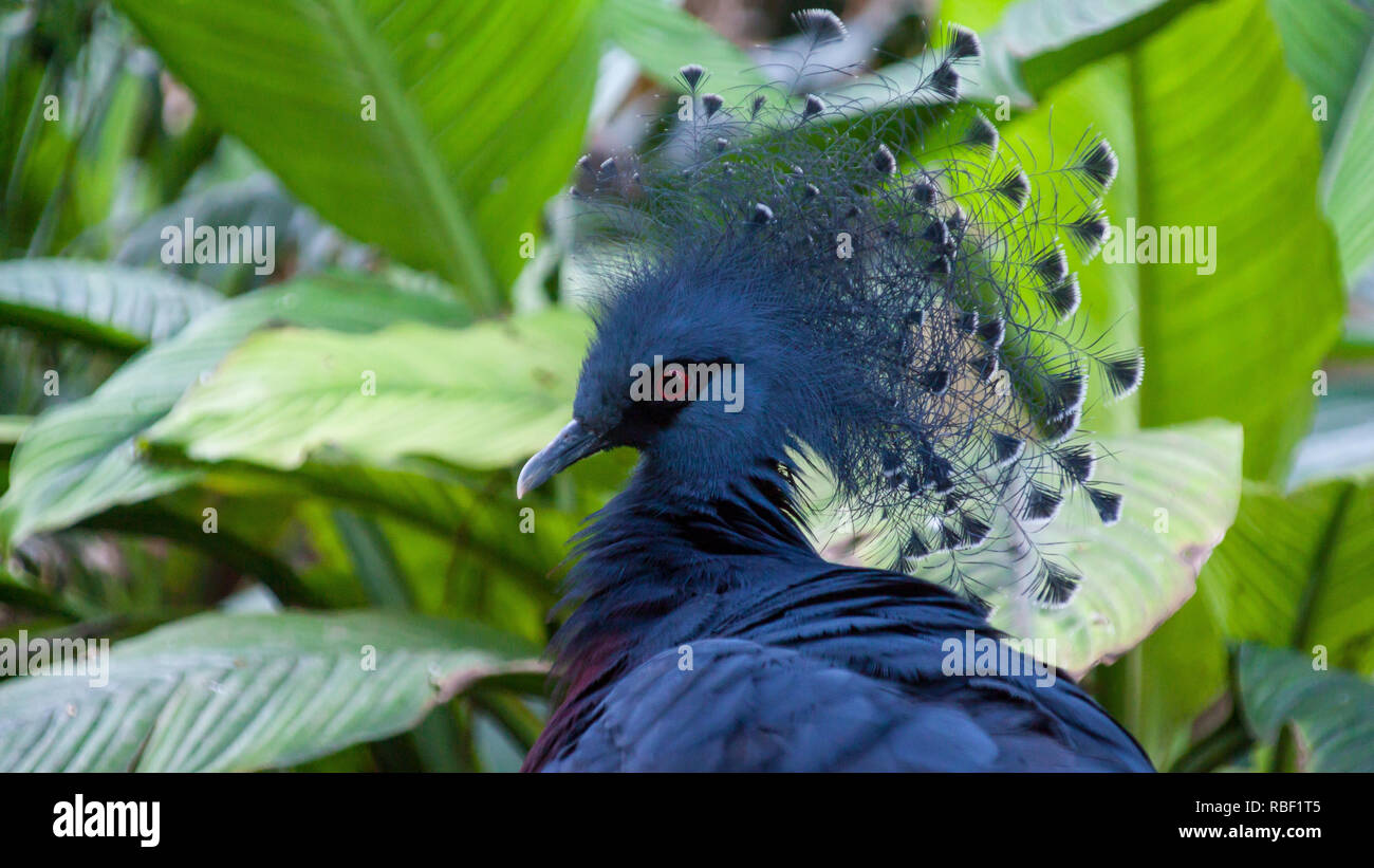 A Nice Profile Photo Of A Crowned Pigeon Goura In A Forest Environment Stock Photo Alamy