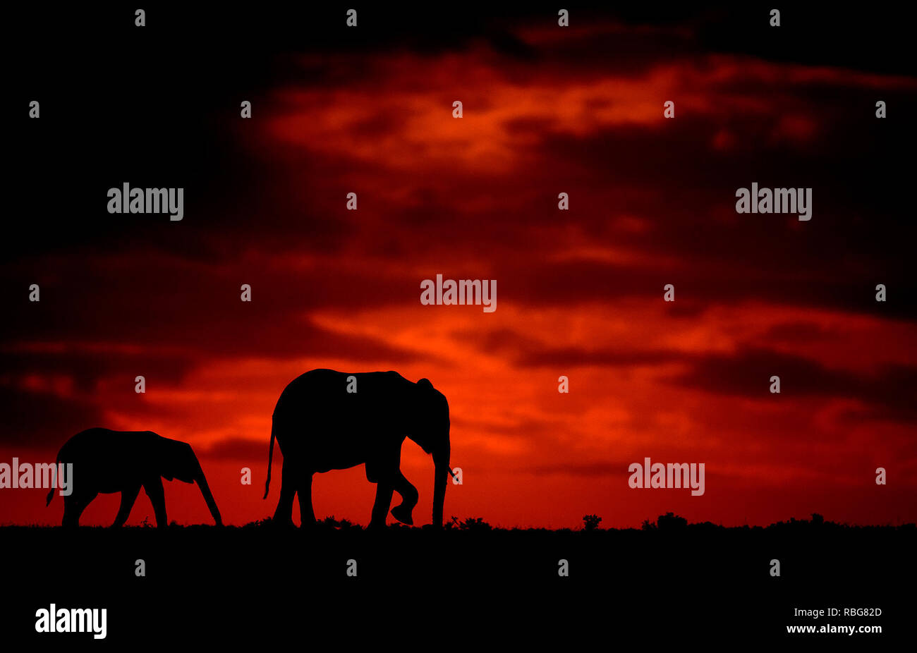 The Elephants. / DUSK TILL DAWN images show Africa's rich wildlife silhouetted during the beginning and the end of the day when the light reaches its perfect state of illumination. A hippopotamus is shown lurking in the water, whilst other stunning photographs give an intimate glimpse of lions, giraffes, kudu's, flamingo's, elephants, leopards, rhino's and zebras in this beautiful silhouetted technique. Evan a swarm of bats can be seen flying across the African sunset. Other dramatic photos from across southern and eastern Africa show an injured wildebeest evading a fire that has swept across  Stock Photo