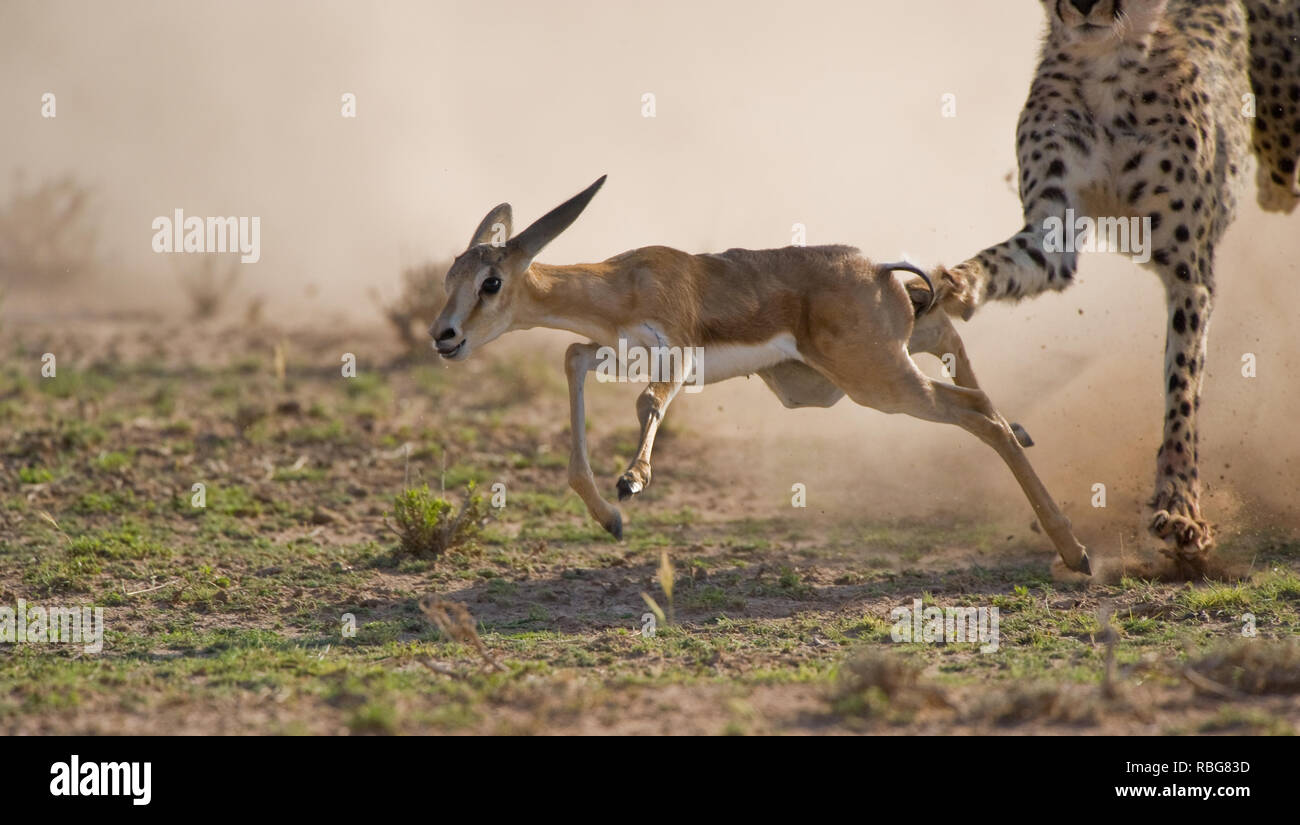INCREDIBLE images showcase the moment a skilled photographer captured a dramatic cheetah kill whilst on safari in South Africa. The action-packed photographs were taken just as the cheetahs descended from the sand dunes of the Kalahari Transfrontier Park. The up-close pictures show the cheetahs hungrily chasing their pray, a Springbok Fawn, as it darts to avoid capture. Bridgena Barnard / www.mediadrumworld.com Stock Photo